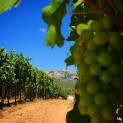 Vermentino grapes taking their time..
