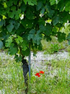 A vine in the Giovanni Rosso's Cerretta vineyard