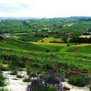 Lavender & vineyards near La Morra .. Stunning landscapes all around!