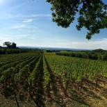 Once again, the magnificent Bellaria vineyard of Ornellaia
