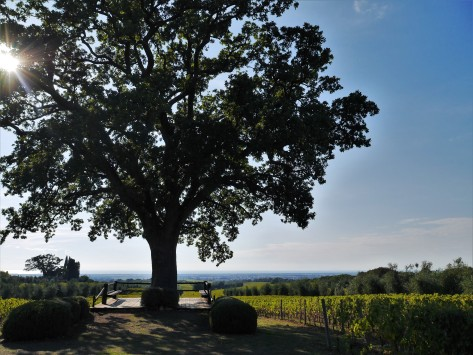 Oak tree at Bellaria