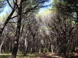 Pine forest running along the beach