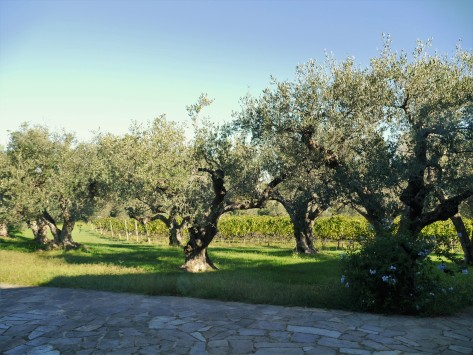 Olive trees at Ca'Marcanda